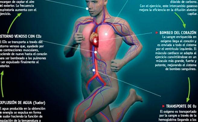 El sistema cardiovascular de un deportista. ¿Cómo funciona?