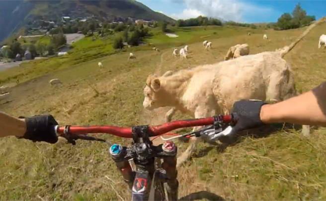 Un ciclista + Una ruta de montaña + Una vaca = Hostión imprevisible