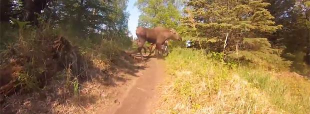 Cuatro ciclistas + una ruta de montaña + dos crías de alce = Una mamá alce con muy malas pulgas
