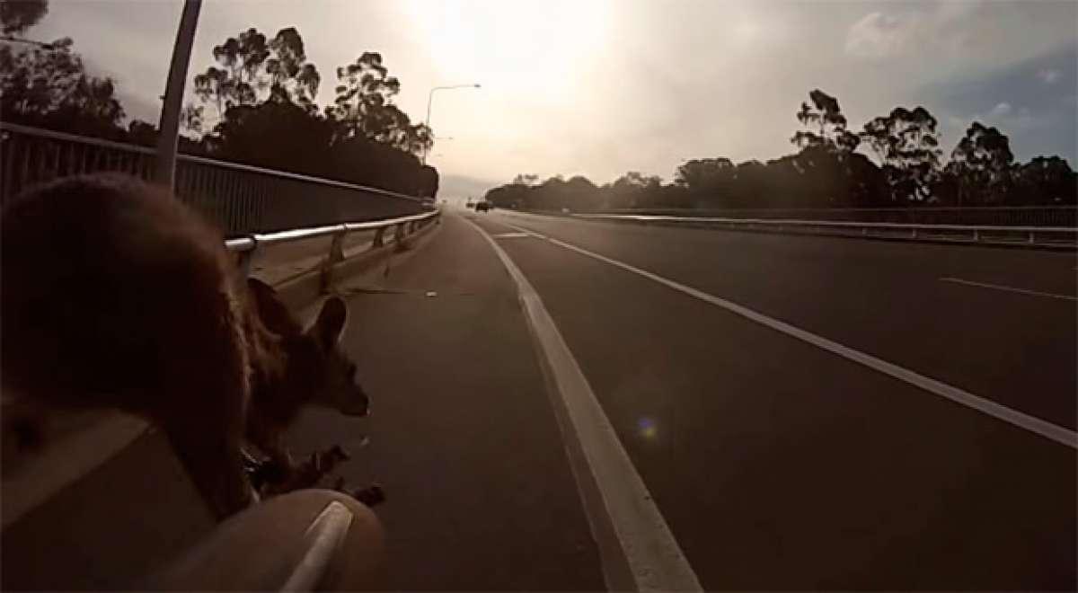 El brutal accidente de un ciclista chocando con un canguro