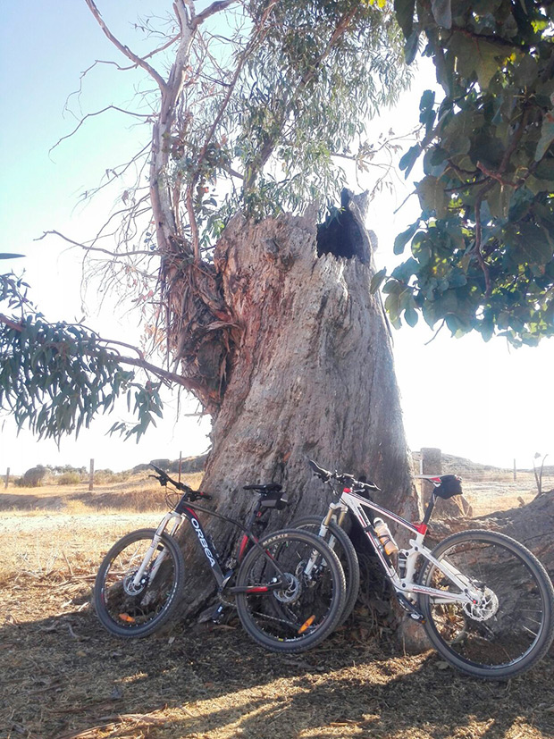 """La foto del día en TodoMountainBike: """"Un viejo eucalipto"""""""