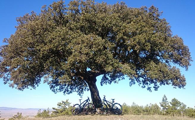 La foto del día en TodoMountainBike: 'Carrasca milenaria en Sierra Palomera'
