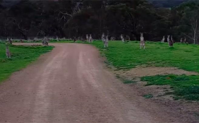 Pedaleando 'entre canguros' en el Hawkstowe Park de Australia