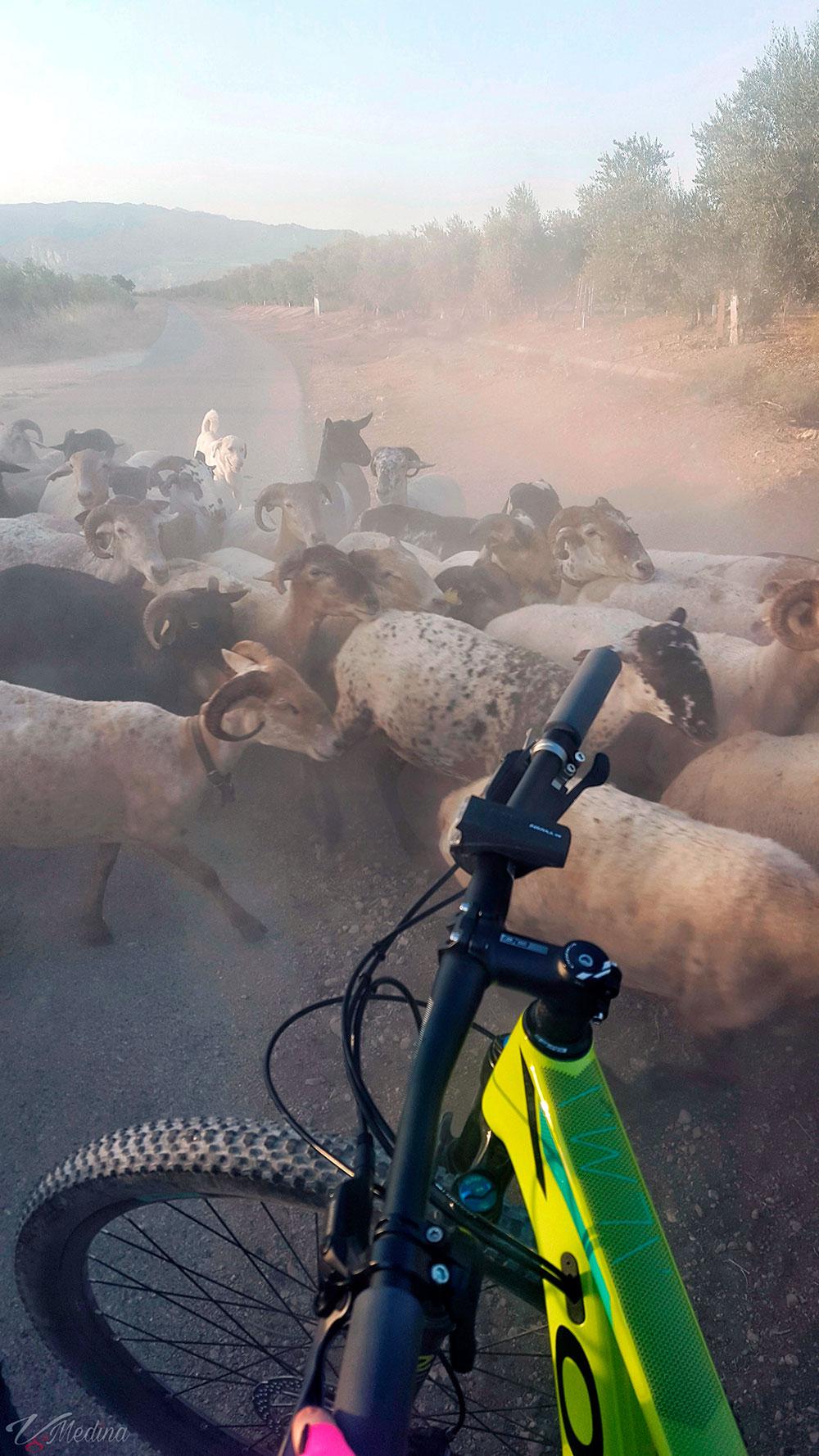 """La foto del día en TodoMountainBike: """"¡Entre cabras!"""""""