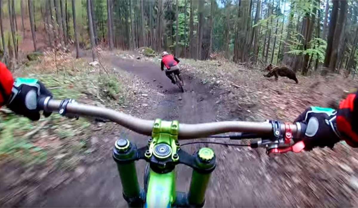 Los peligros del Mountain Bike: un oso persiguiendo a un ciclista en el Bike Park Malinô Brdo