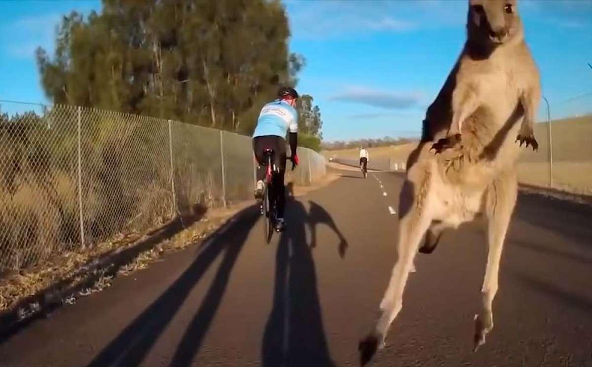 Los canguros en libertad, un problema añadido para los ciclistas australianos