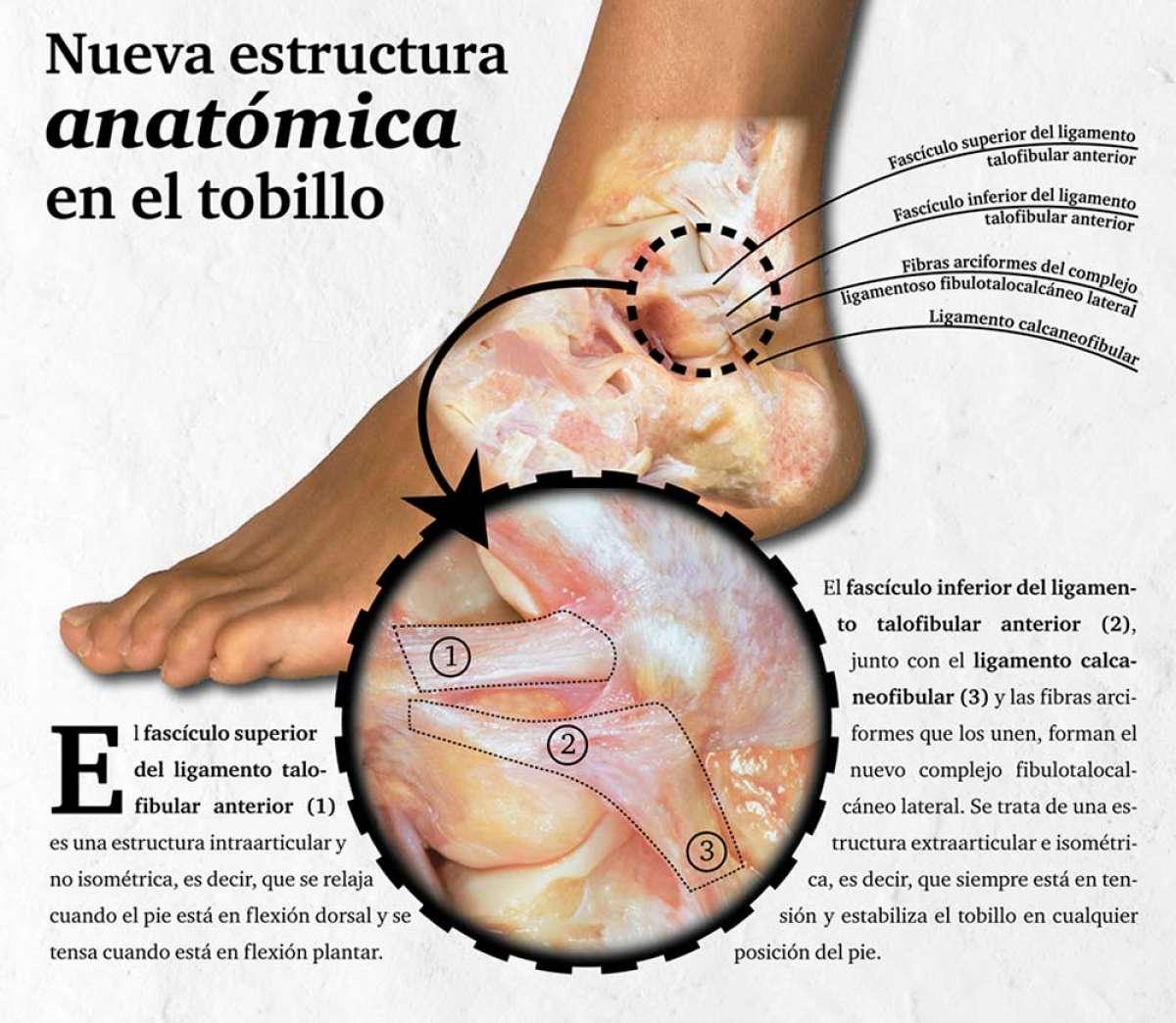 Descubierto un ligamento en el tobillo que podría explicar por qué algunos esguinces presentan dolor crónico