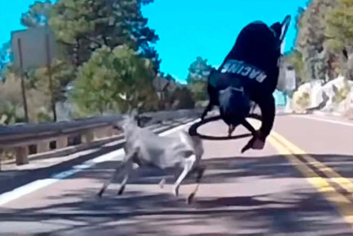 El brutal accidente de un ciclista estadounidense contra un ciervo